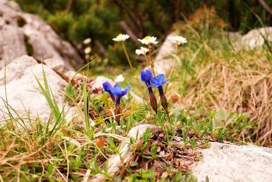 Blau, so blau der Wegesrand. Fritz Reichenfelser hält den Steig zur Hütte sauber. Blumen lässt er freilich stehen.